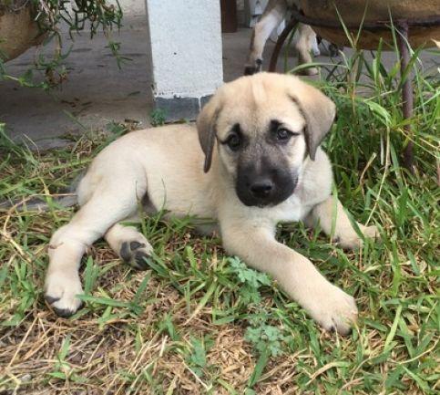 Anatolian Shepherd Dog Puppies 9000